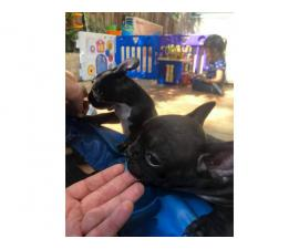 Litters of French Bulldog puppies