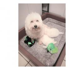 Fluffy white 8 weeks old Bichon Frise puppies