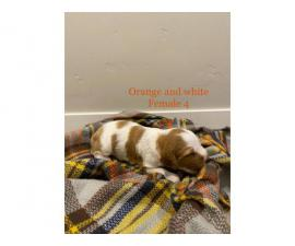 8 AKC purebred Brittany puppies for sale