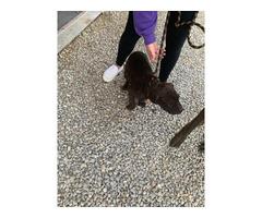 2 Registered Cane Corso Female Puppies