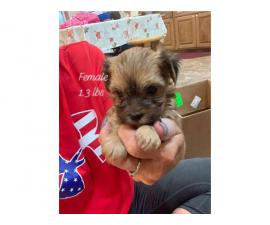5 Morkie puppies ready for adoption