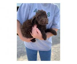 2 females f1b Bernedoodle puppies