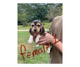 Rehoming 3 beagle puppies