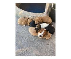 10 AKC registered basset hounds for sale