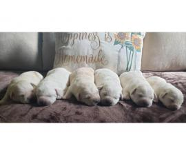AKC English Yellow Lab Puppies for sale