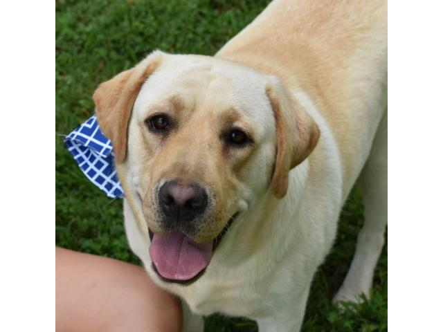 AKC English Yellow Lab Puppies for sale in New Hampshire USA