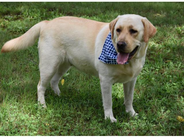AKC English Yellow Lab Puppies for sale in Maryland USA