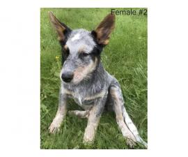 3 female Blue Heeler pups available