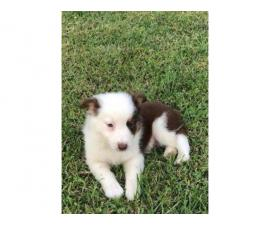 2 Australian Shepherd male puppies