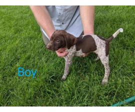 6 boys 1 girl GSP puppies