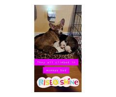 2 Pomchi puppies for sale