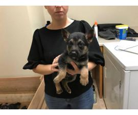 9 German Shepherd puppies for sale