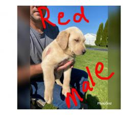 8 AKC Pure Breed Lab Puppies