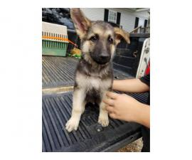Ten weeks old German Shepherd Puppies