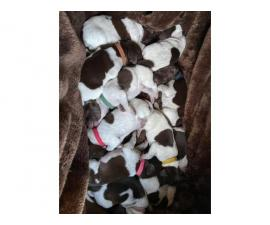 9 German Shorthaired Pointer Puppies for Sale