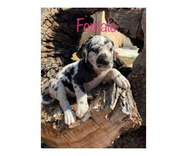 6 beautiful Dannif puppies to good home