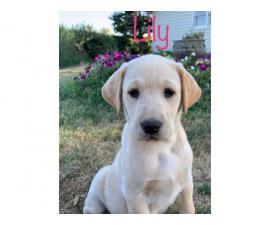 4 AKC Registered Yellow Lab Puppies