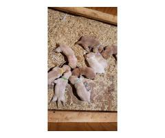 Litter of Goldador puppies