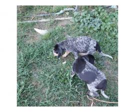 2 Bluetick Coon Hound Puppies ready to go
