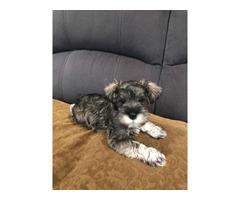 2 Mini Schnauzer Puppies for Sale