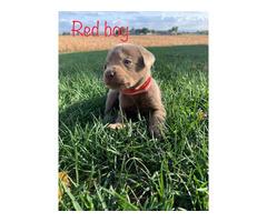 AKC Silver Labrador Puppies