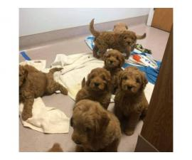 9 golden doodles babies for sale AKC registered
