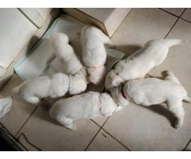 2 females left Purebred white German Shepherd puppies