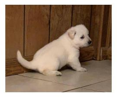 2 females left Purebred white German Shepherd puppies
