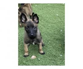 One male Belgian Malinois Puppy