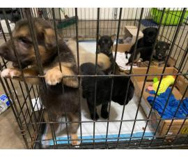 German Shepherd Puppies 3 females and 4 males