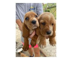 10 AKC registered basset hound puppies