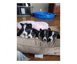 Litters of 6 CKC pomsky puppies