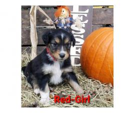 Four Standard Aussie Puppies Available