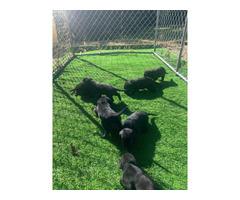 6 males 1 female left AKC black Lab Puppies