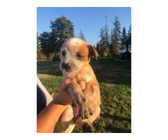 8 Heeler puppies for sale