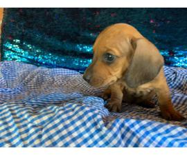 2 females and 3 males dachshund puppies