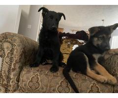 2 Registered German Shepherd Puppies