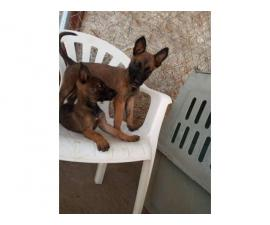 Purebred Sable Belgian Malinois Puppies