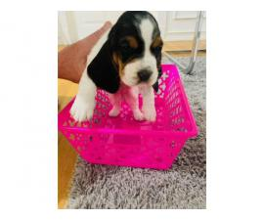 4 Basset Hound Puppies Need Good Homes