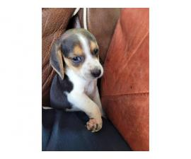 2 male tricolor beagle puppy for adoption