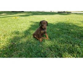6 Purebred Doberman Puppies for sale