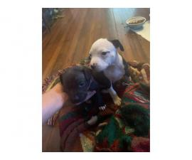 Full-blooded Pit bull puppies