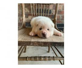 1 male and 1 female AKC American Akita puppies