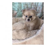 Purebred lavender merle Pomeranian Puppy