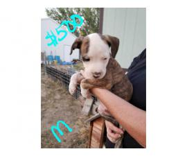 Rehoming 9 pit bull puppies