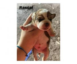 Frengle puppies available