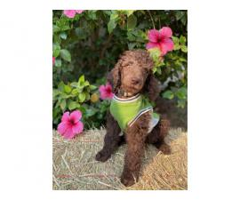 5 AKC Standard Poodles for Sale