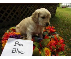 Male Golden doodle puppy