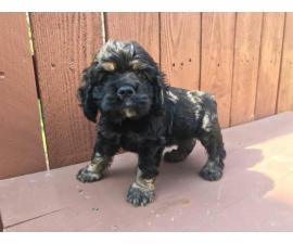 Black And Tan Cocker Spaniel Puppies for Sale