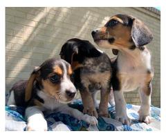UKC Males and Females Pocket Beagles